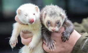 Ferrets (not those used in the experiment).